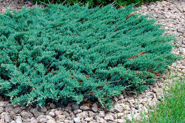Juniperus horizontalis Blue Chip. Фото с сайта vanbelle.com