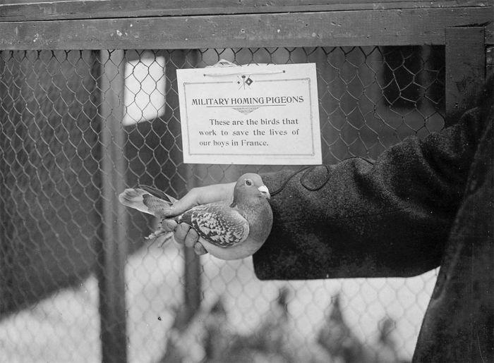 Животные на Первой мировой войне
