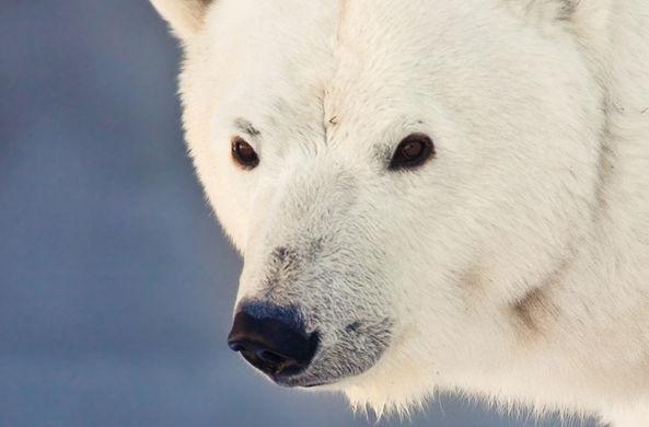 Собака и белый медведь решили поиграть в догонялки