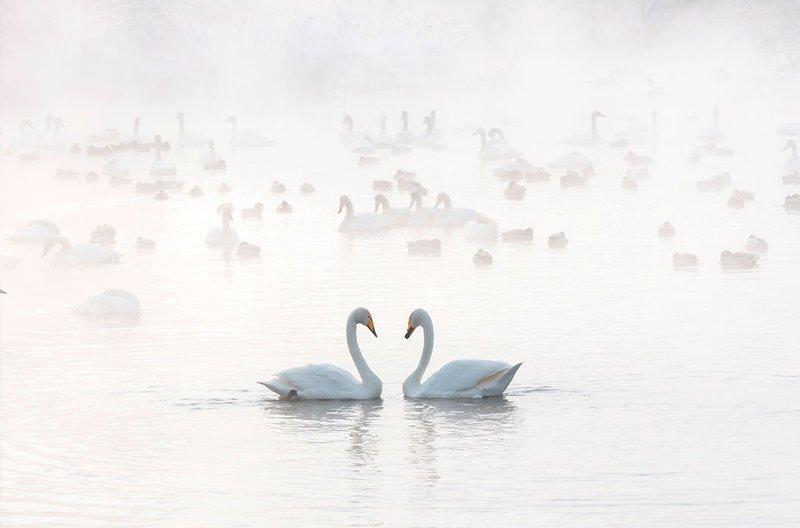 Незамерзающее озеро Светлое и лебеди на нем. Алтай зима, красота, природа, россия, фото
