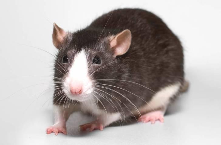Как умная и смекалистая крыс…