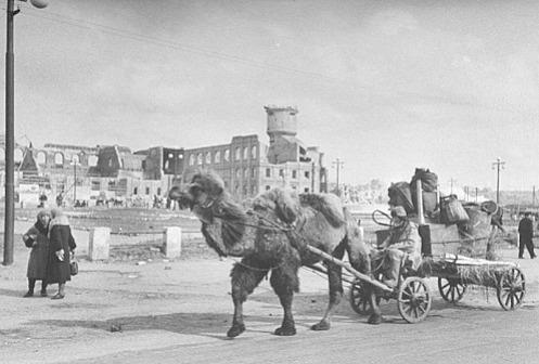 Верблюды герои войны.
