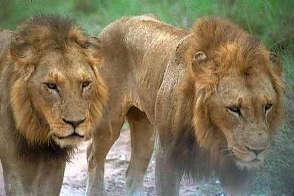 Львы Ньомбе