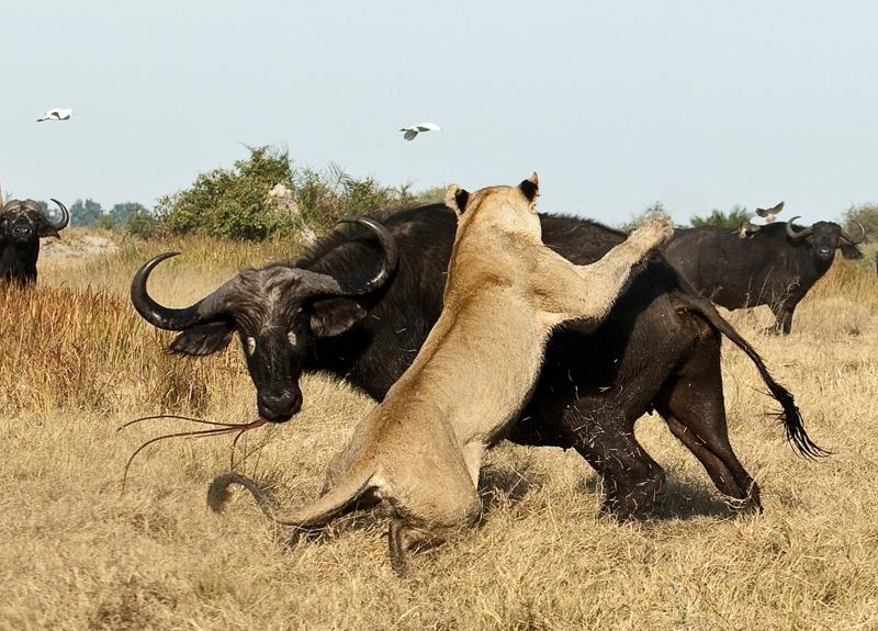 0010 Дикая Африка   остров, где львы охотятся только днем