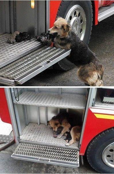 Собака спасает своих детей от пожара, пряча их...