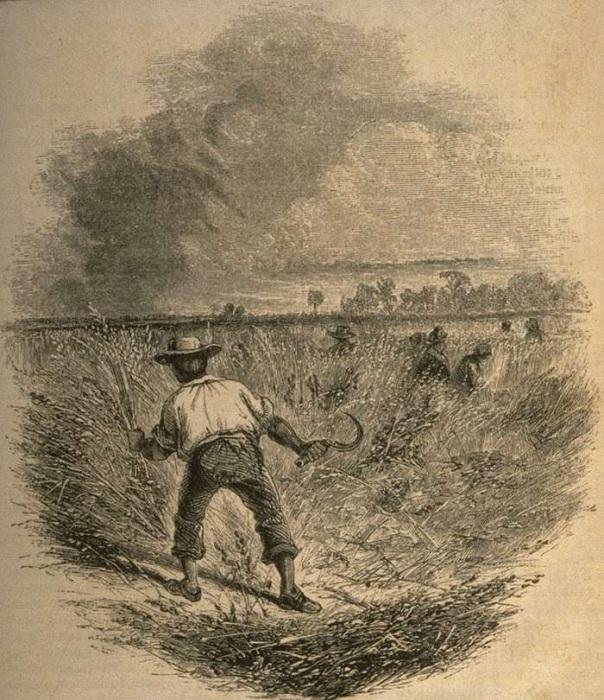 Сбор урожая риса (Юг США, 1859 год)