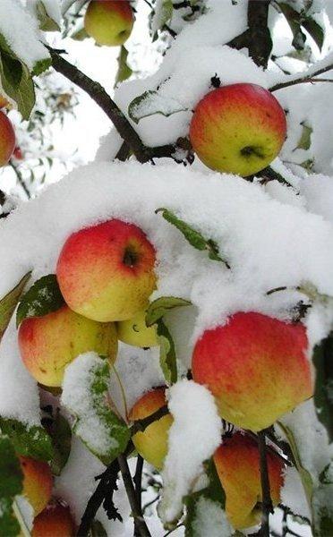 Яблоки на снегу обсуждение на liveinternet