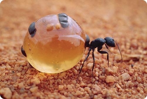 Медовые муравьи - живые конфеты