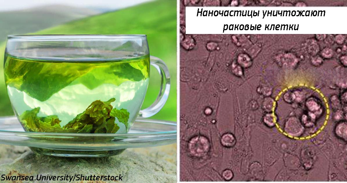 Наночастицы в листьях зеленого чая убивают рак в легких! Обнаружилось случайно...