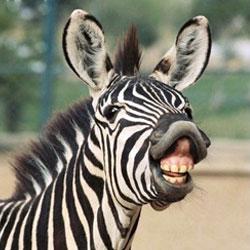 ТЕРЕМОК. Почему зебра полосатая?