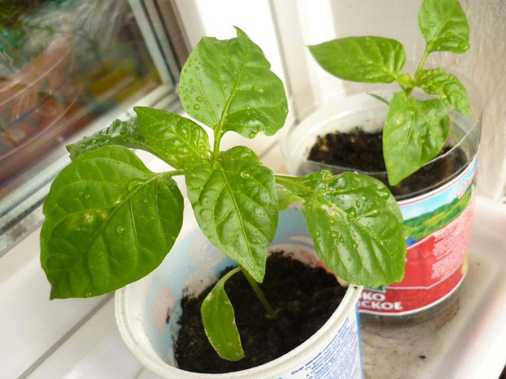 Выращивание сладкого перца болезни 80