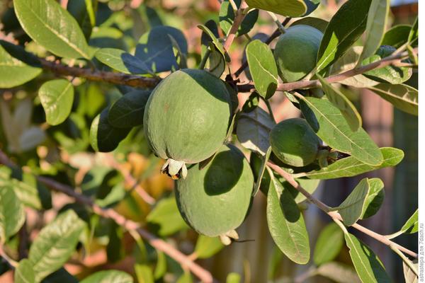 Фейхоа - реально ли вырастить южное дерево?