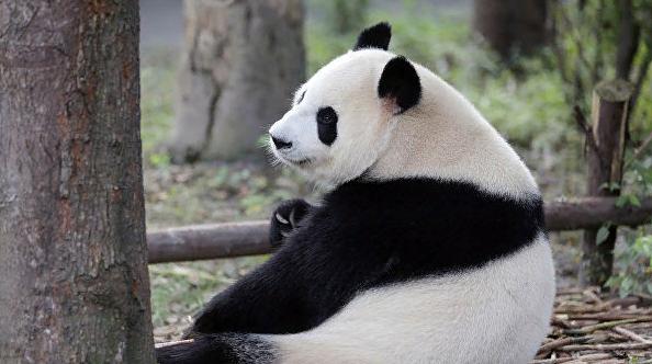 В Китае надеются, что привезенные в Москву панды принесут много радости