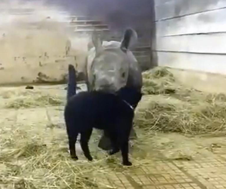 Умилительные кадры: дружба ласкового кота с детенышем носорога