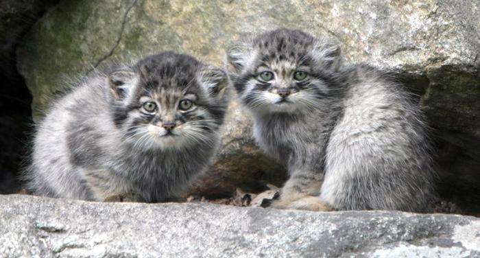 Котята манула стоят более 100 000 рублей.