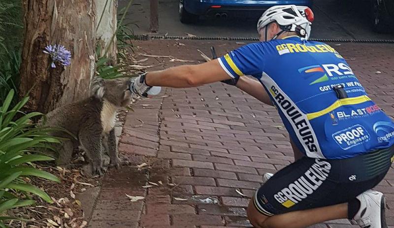Велосипедист отдал страдающей от жажды коале последнюю бутылку воды и снял это на видео