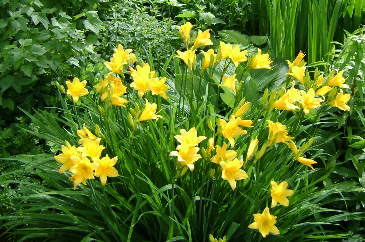 Цветы лилейник садовая фото