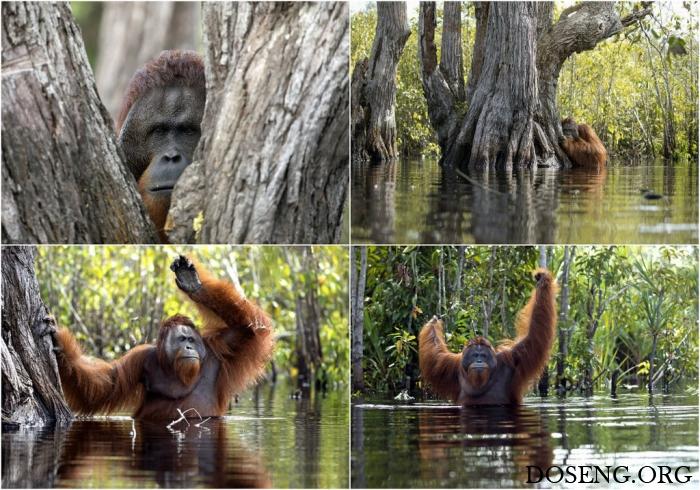 Редкие кадры: орангутанг в реке