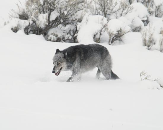 Матерый волк в критические минуты жизни