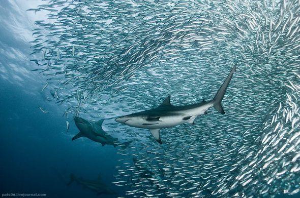 Подводный мир от Александра Сафонова (Фото)