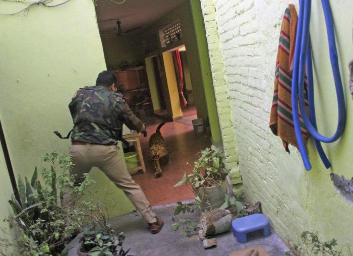 Полицейский стреляющий в дикого леопарда. Автор фотографии: Аджай Кумар.