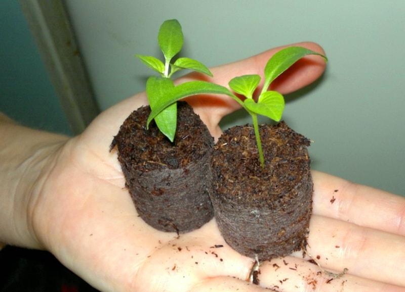 Как применять кокосовые таблетки для выращивания рассады