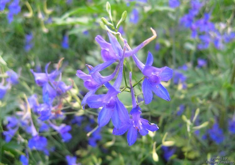 Полевые синие цветы названия