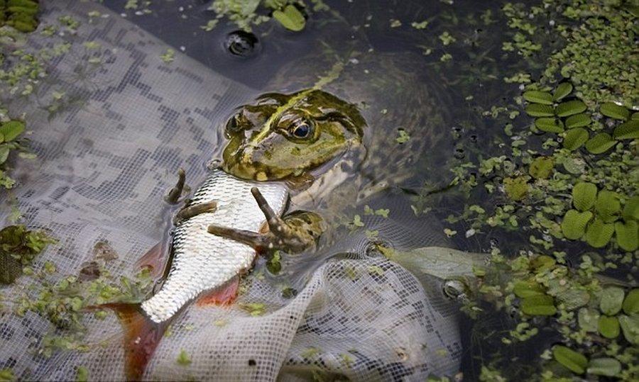 Суровые украинские лягушки