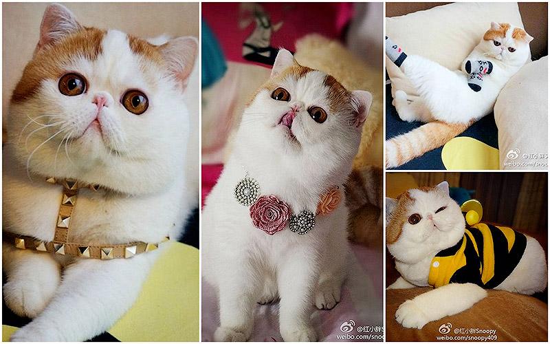 Снупи кот породы short hair exotic