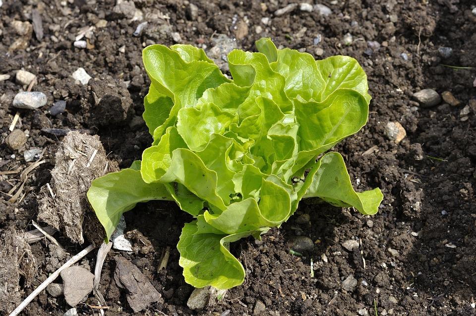зелень салата