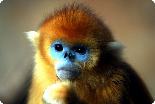 Самыке сексуальные обезьяны в мире