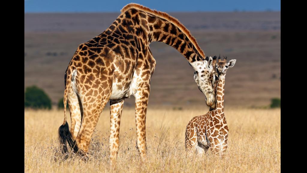 Жираф — это млекопитающее из отряда парнокопытных. Описание, ареал обитания и образ жизни жирафа