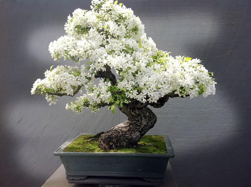 Бонсай. Дерево в горшке