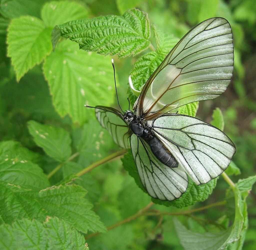 Бабочка на малине