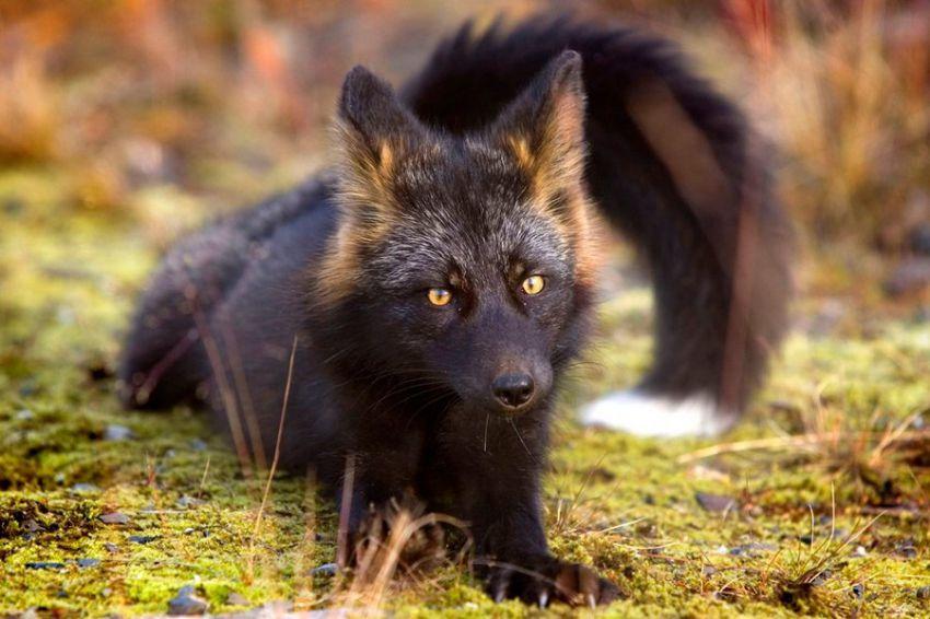 Черно-бурая лиса  лиа, животные
