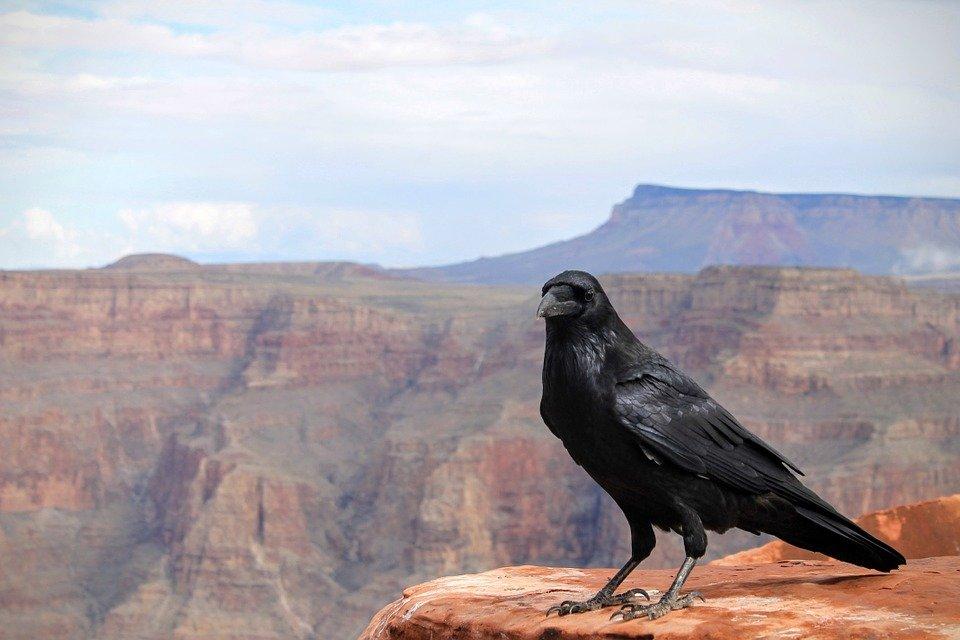 Новокаледонские вороны умеют создавать инструменты из частей для добычи еды