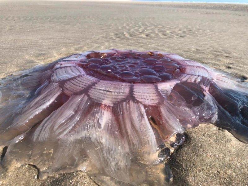 В Новой Зеландии на пляже нашли гигантскую медузу, которая выглядела как пришелец