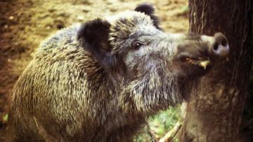 В Подмосковье вновь запрещена охота на кабана