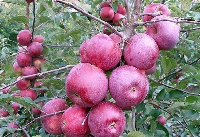 Какие зимние сорта яблок луч…