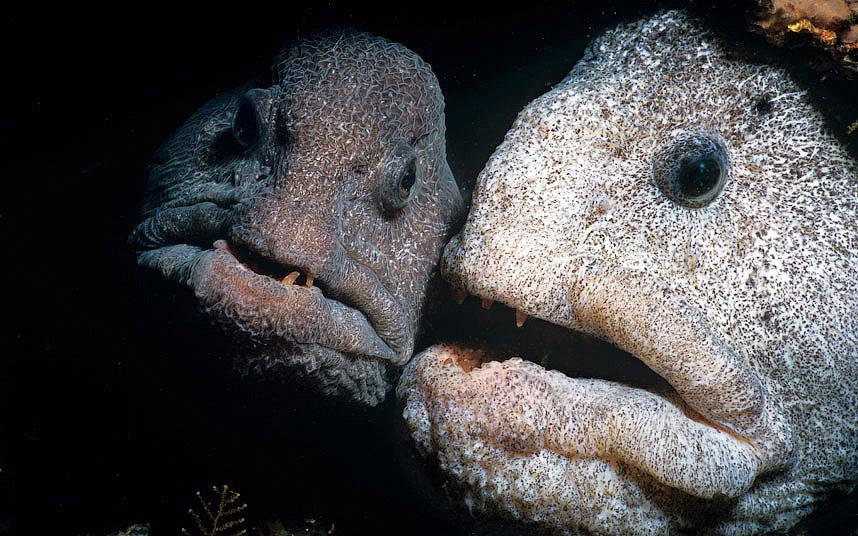 Зубатка полосатая (Anarhichas lupus)