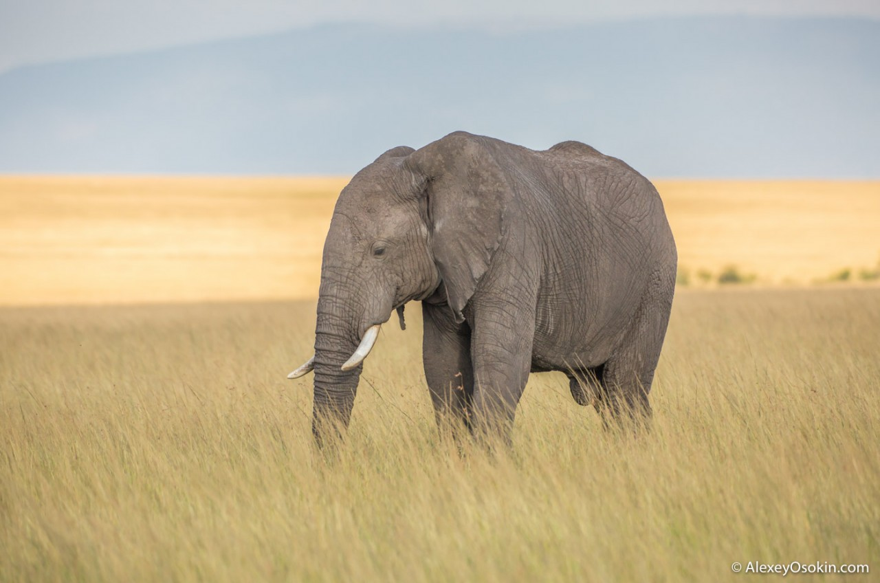 Какого размера у слона?