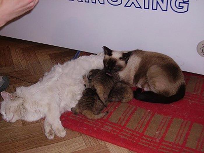 Чтобы выкормить котят, им нашли обычных домашних кошек, которые также в это время растили свое потомство.
