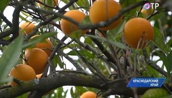 В Сочи начался сбор апельсинов