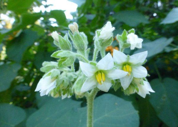 Цветки тамарилло