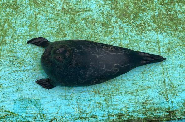 Нерпу и тюленя из Петербурга выпустили на волю