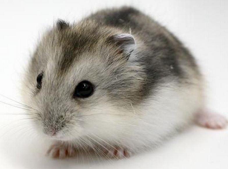 Хомяк джунгарский — уход за миниатюрным грызуном