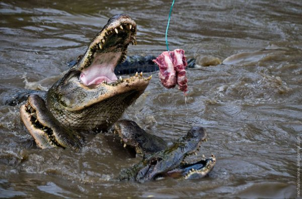 Как выращивают аллигаторов