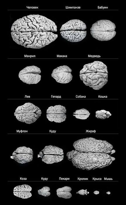Размеры мозга животных
