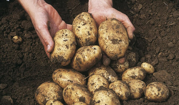 Метод выращивания картофеля …