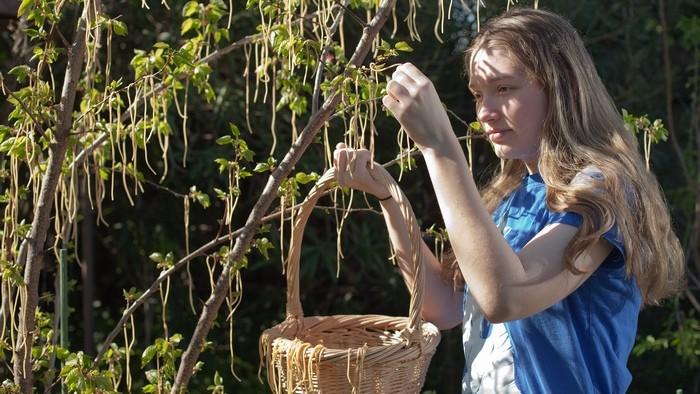 Научная мистификация: дерево спагетти.
